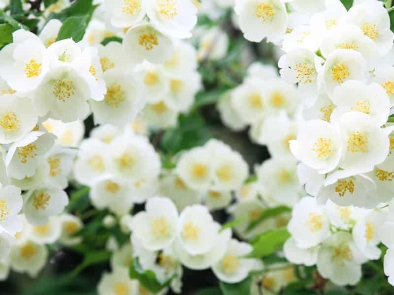 Zapach wanilii pomaga złagodzić stres i niepokój.